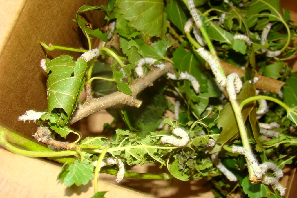 Silk Worms x 25 (5)